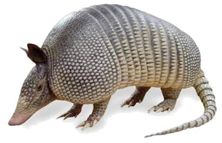 wild-armadillo