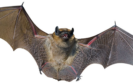 wild-bat