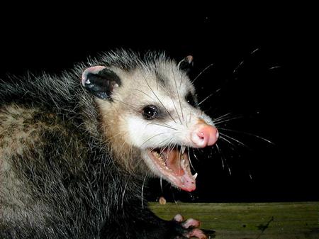 wild-opossum