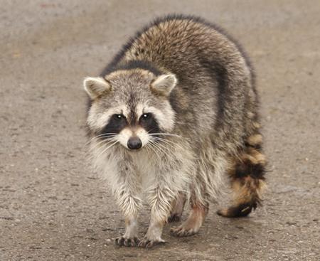 wild-raccoon