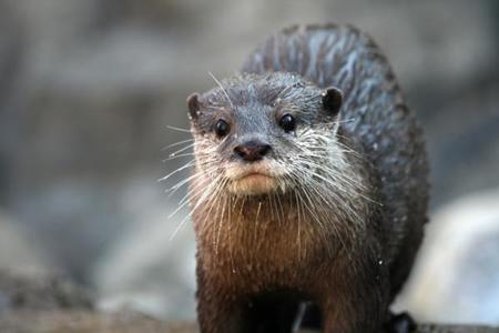 wild-river-otter