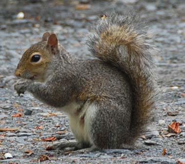 wild-squirrel